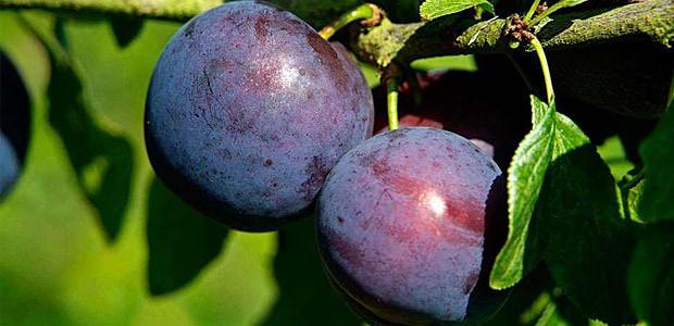 Sfaturi naturiste. Beneficiile consumului de prune