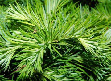 Дары природы. Чай из сосновых иголок – защита организма