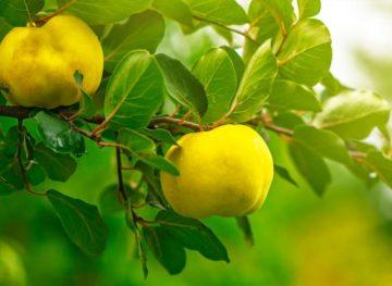 Sfaturi naturiste. Gutuia, 100 de proprietăţi benefice într-un singur fruct!