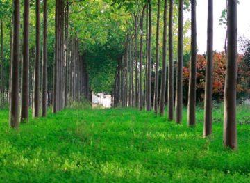 Proprietarii plantațiilor de pauwlonia din raionul Leova speră ca afacerea lor să se bucure de success